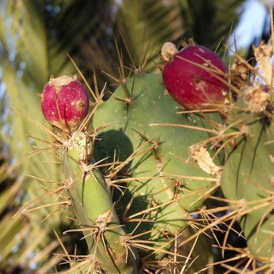 Zbieraj się, fuerteventura, kaktus