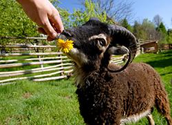 Zbieraj się, Gościniec pod Zielonym Jajem, owce