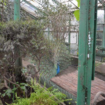 Zbieraj się, Wałbrzyska palmiarnia, paw (2)