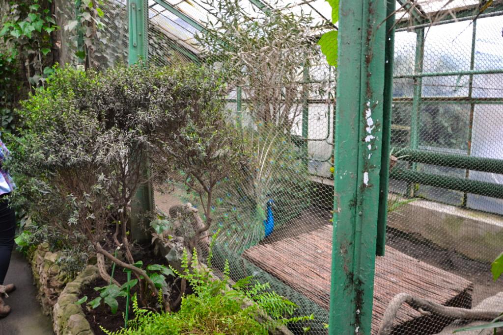 Ogrody_na_Dolnym_Śląsku_Zbieraj się, Wałbrzyska palmiarnia, paw (2)