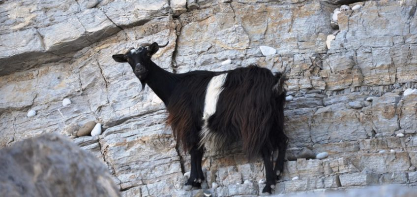 grecja, koza