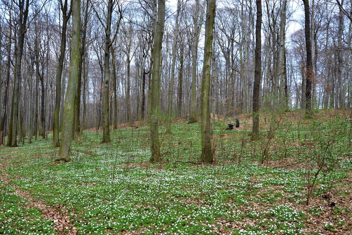 atrakcje dolnego slaska _ las zawilce Trzebnia