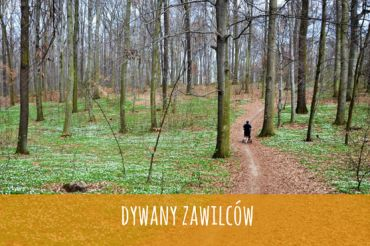 Biegiem wśród zawilców: Las Bukowy w Trzebnicy