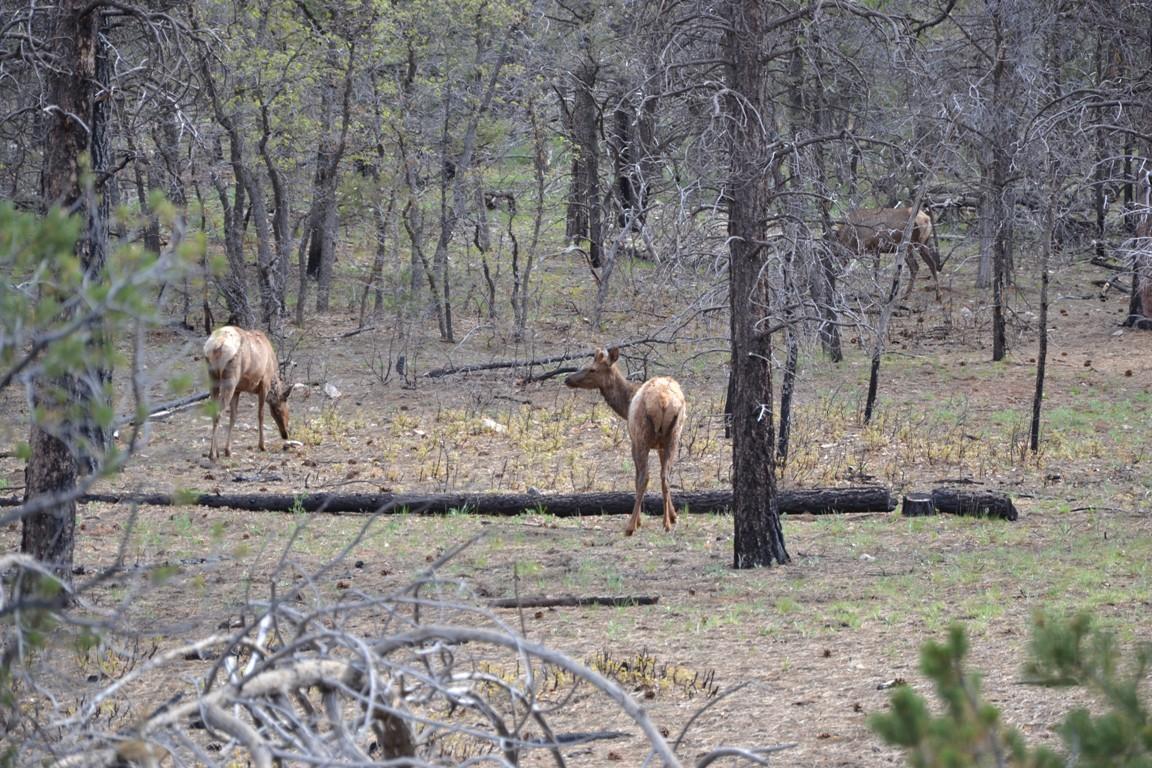 Wielki Kanion Kolorado, Zbierajsie_elki