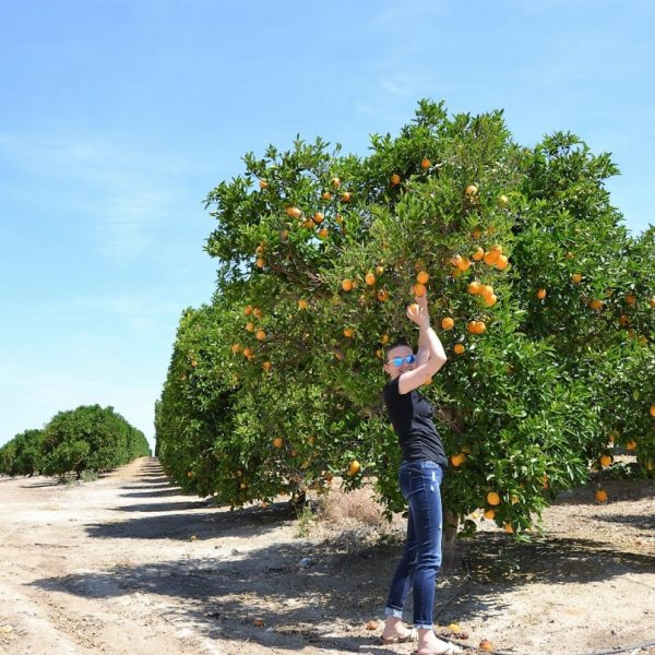 sekwoje, zbierajsie, pomarancze kalifornia