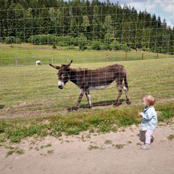 Ryczący osioł i gryząca lama pośrodku pagórków – Zoo Farma Łączna alternatywą do wrocławskiego ZOO