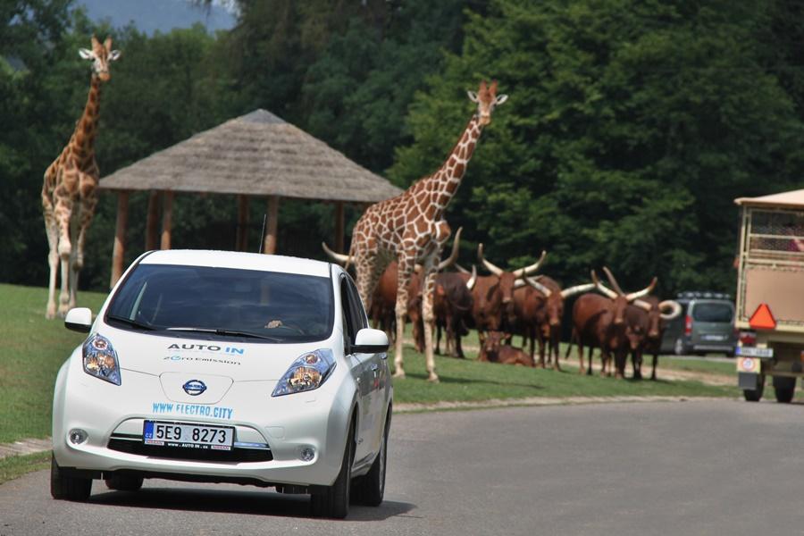 żyrafa wZoo SafARI dvur Kralove