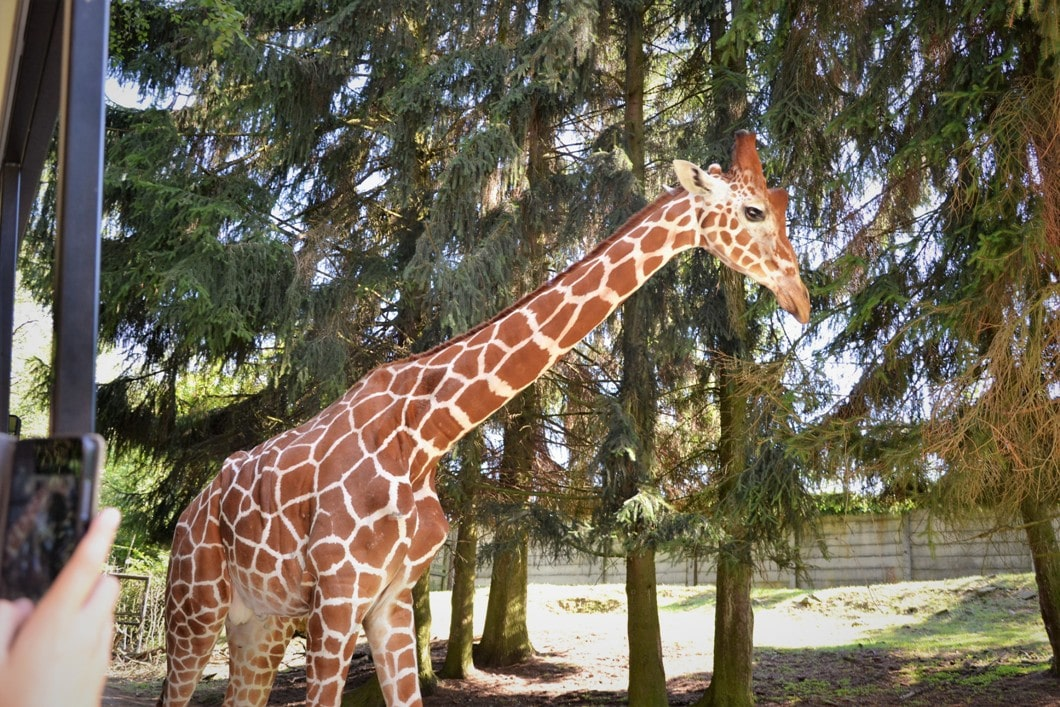 żyrafa wzoo-dvur-kralove-zbierajsie (19)-zyrafa
