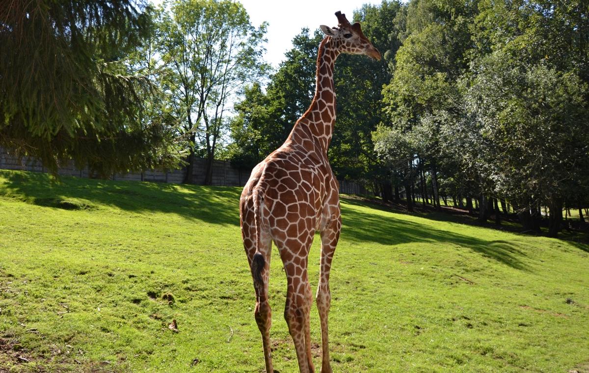 żyrafa wzoo-dwur-kralove (72)