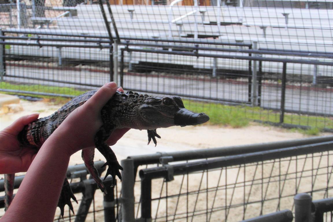 Park Narodowy Everglades na Florydzie_aligator na farmie
