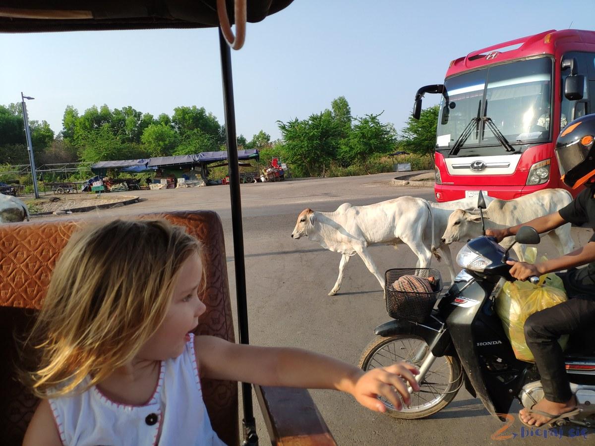 krowy_w_kambodzy_pozdroz-do_azji-Zbieraj-sie (9)