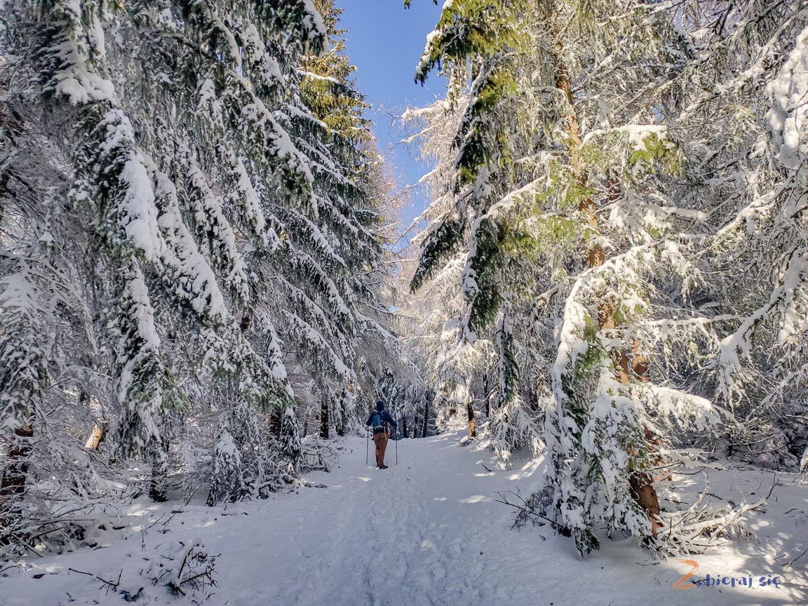 ośnieżony las naDzikowcu