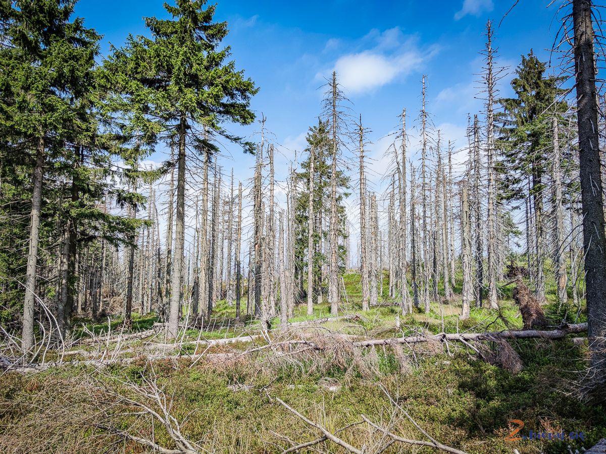 las świerkowy wdrodze naBaranią Górę zdziećmi