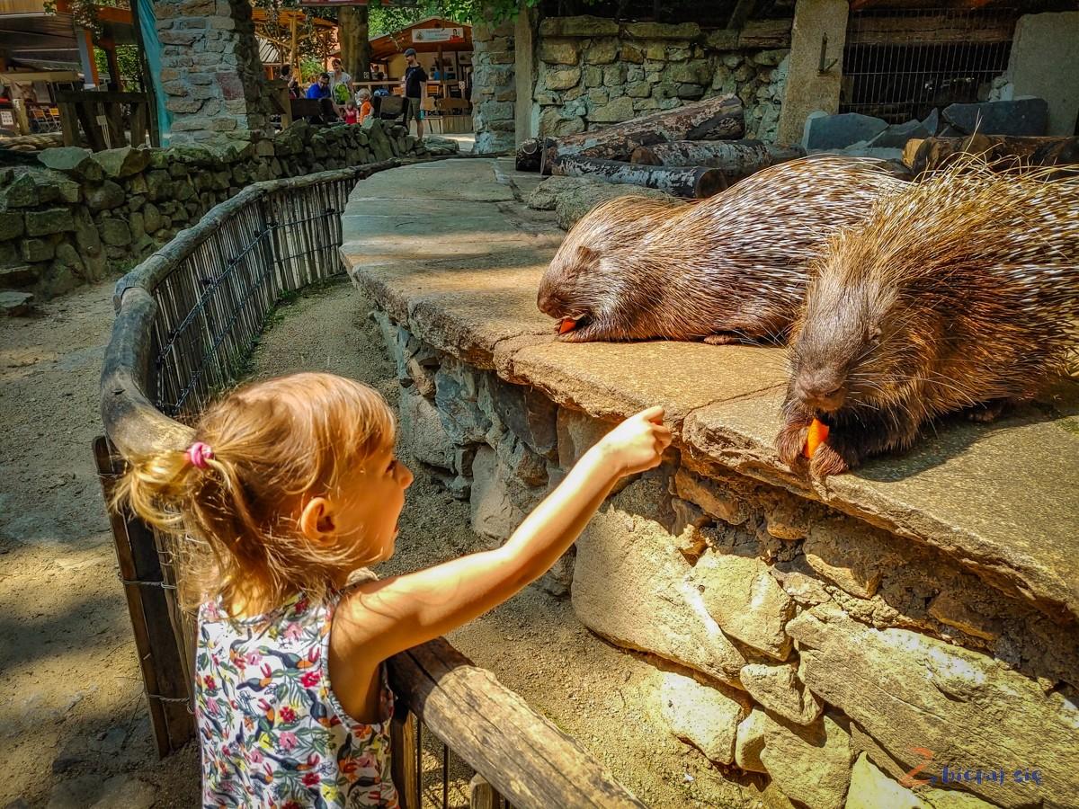 Jeżozwierze Zoo Goerlitz
