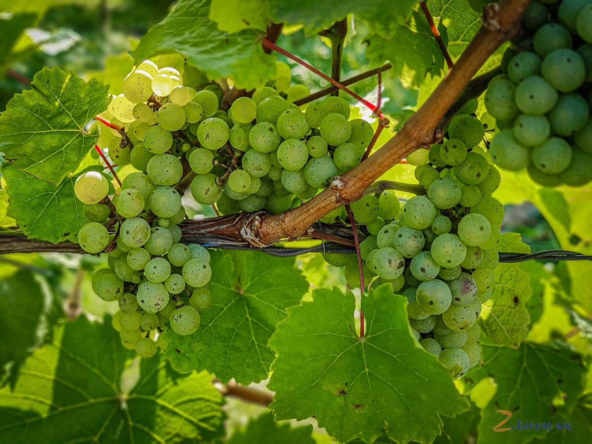 winnica-bielawska-bielawa-zbierajsie (3)